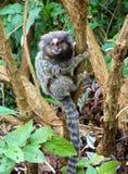 Marmoset. Wild marmoset in Rio de Janeiro, Brazil Royalty Free Stock Photos