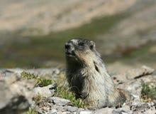marmot камеры hoary смотря Стоковые Фото