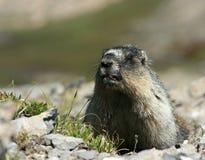 marmot поцелуя Стоковое Изображение