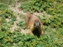 Marmot royalty-vrije stock afbeeldingen