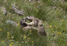 marmot Foto de Stock Royalty Free