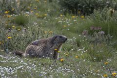 marmot Imagem de Stock