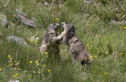 marmot Fotografia de Stock Royalty Free