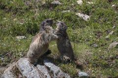 marmot Imagem de Stock Royalty Free