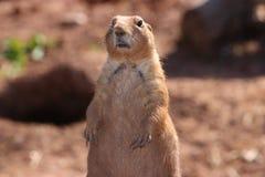 Marmot Stock Afbeeldingen