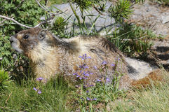 marmot Стоковое Фото