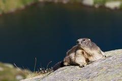 marmot Imagens de Stock