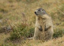 Marmot. Hunting photo in national park GranParadiso (italy Royalty Free Stock Photo