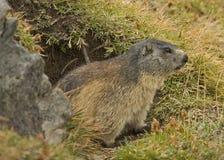 Marmot. Hunting photo in national park GranParadiso (italy Stock Image