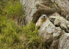 Marmot. Hunting photo in national park GranParadiso (italy Stock Photos