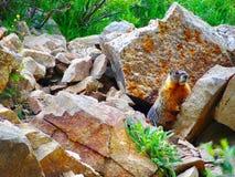 marmot Стоковое фото RF