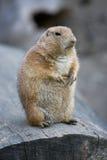 Marmot Stock Image