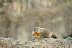 Marmot Royalty Free Stock Image