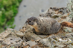 Marmot Stock Images
