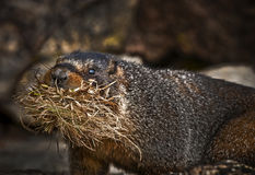 Marmot. Holding straw in its mouth - taken in Rocky Mountains Naitonal Park Royalty Free Stock Photo