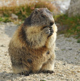 Marmot Stock Photos