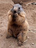 A marmot Stock Photos