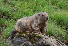 marmot Стоковые Фотографии RF