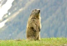 marmot Стоковое Изображение