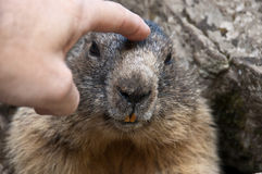 Marmot. A caress to the marmot who can be approached Stock Photos