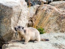 Marmot. Val di Gressoney in italian Alps OLYMPUS E-300 royalty free stock photography