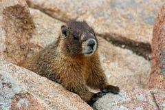 Marmot arkivbilder