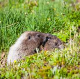 Marmot Images libres de droits