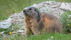 Marmot Fotografering för Bildbyråer