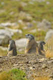 Marmot. S in the French Alps royalty free stock photo