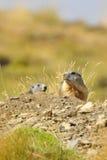 Marmot Stock Photos