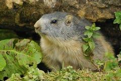 Marmot Royalty Free Stock Photos