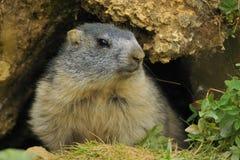 Marmot Royaltyfria Bilder