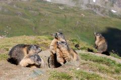 Marmot Image stock