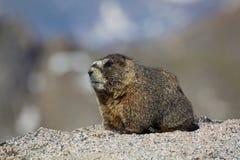 Marmot Photos libres de droits