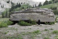 Marmot Stock Foto's