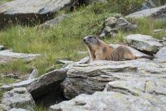 Marmot Photo stock