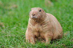 Marmot Photos stock