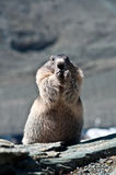 marmot Fotografía de archivo libre de regalías