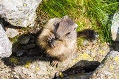 marmot Fotografia Stock Libera da Diritti