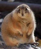 Marmot. Wild marmot (ground hogdog) in Alberta, Canada royalty free stock images