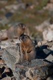 marmot Imagen de archivo
