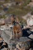 marmot Immagine Stock