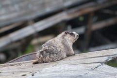 marmot Foto de archivo