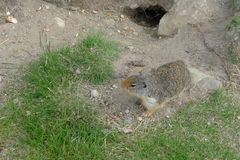 marmot Arkivfoto