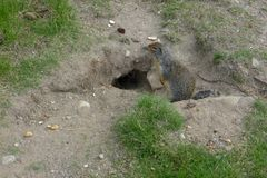 marmot Fotografia Stock