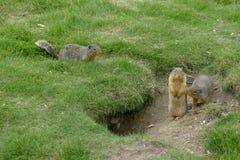 marmot Imagen de archivo libre de regalías