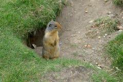 marmot Lizenzfreies Stockfoto