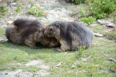 marmot Foto de archivo libre de regalías