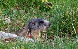 marmot Стоковые Изображения RF