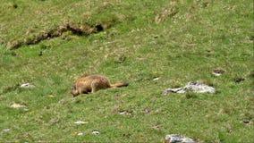 marmot video estoque